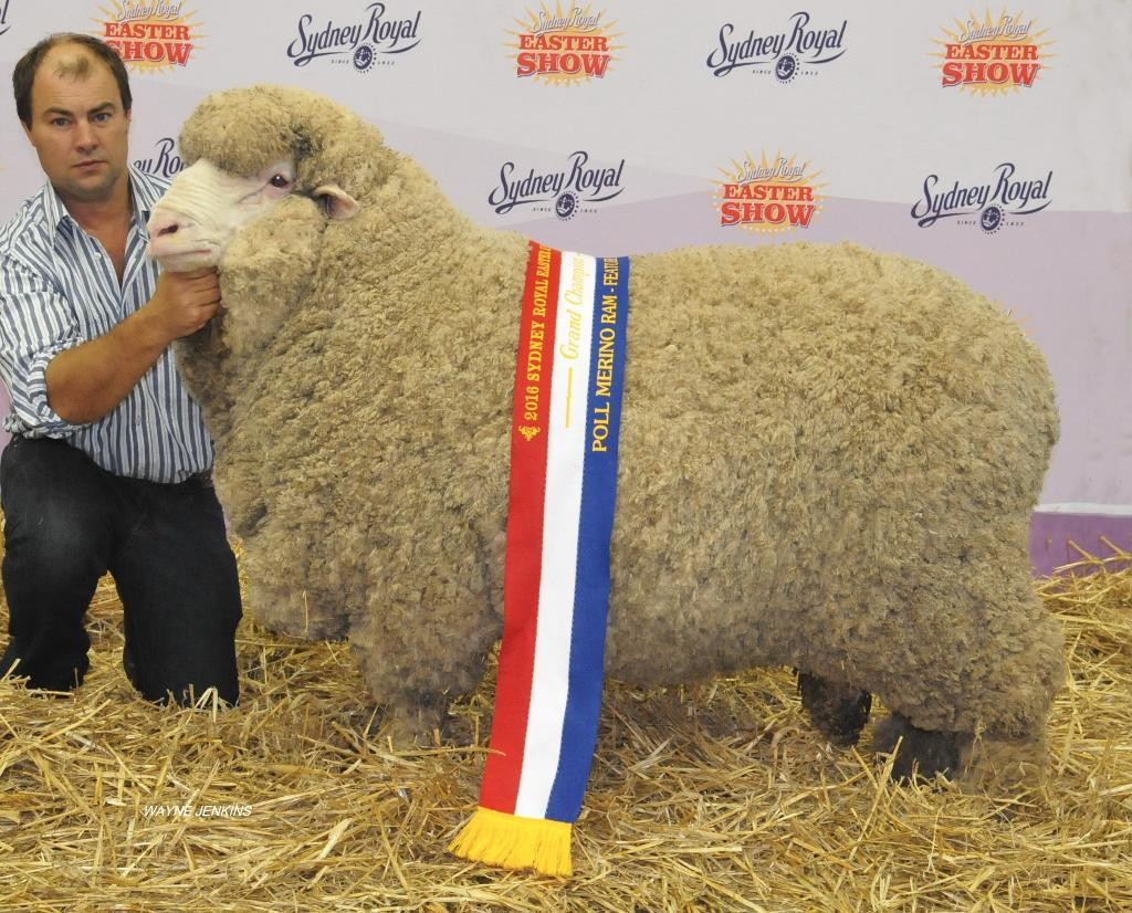 N21 -  2016 Grand Champion Poll Merino Sydney Royal Easter Show 2016