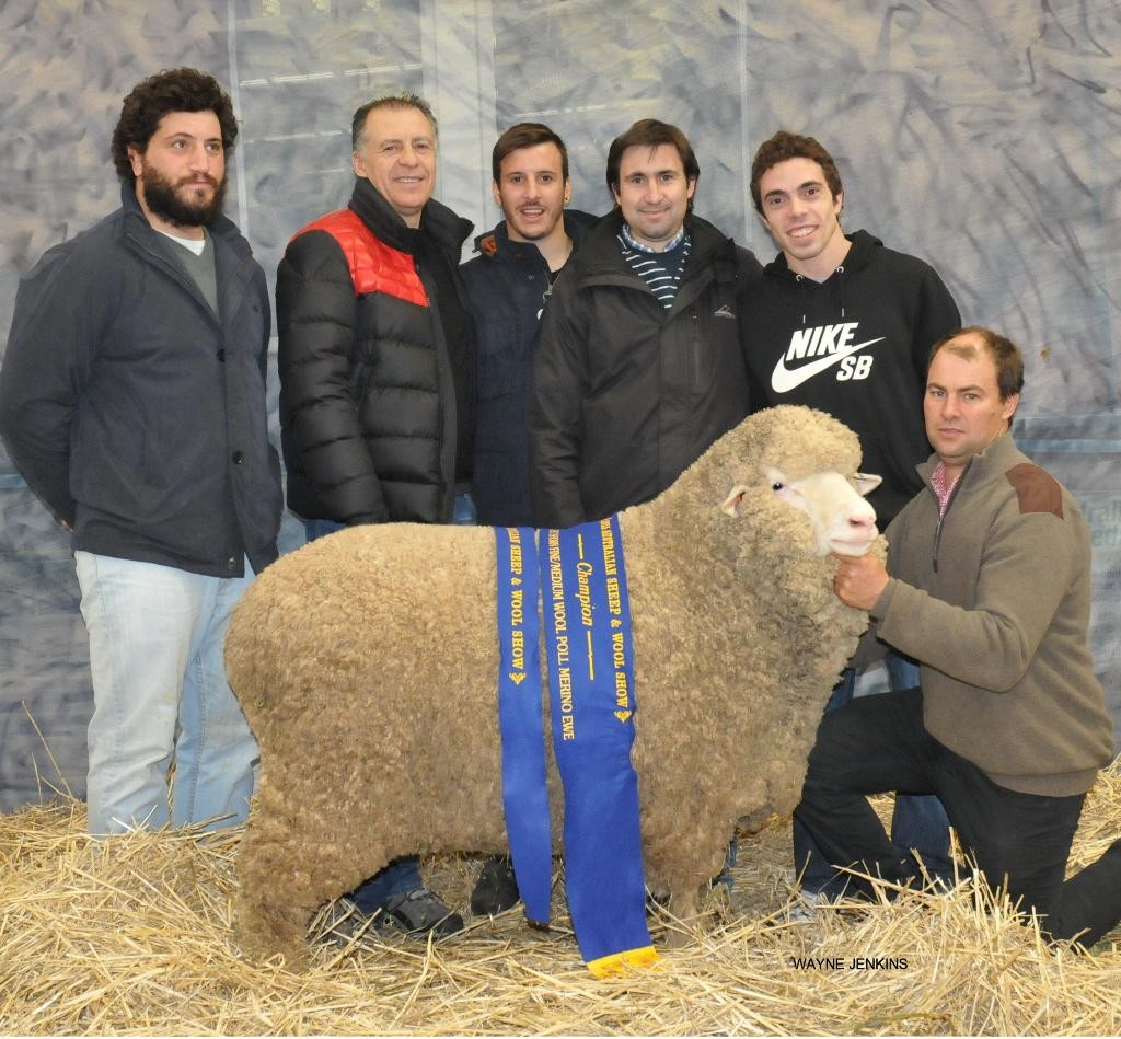 Jock holding Nerstane's Fine Medium Wool Champion Poll Ewe in front of Argentinean buyers representing the Indalo Stud.