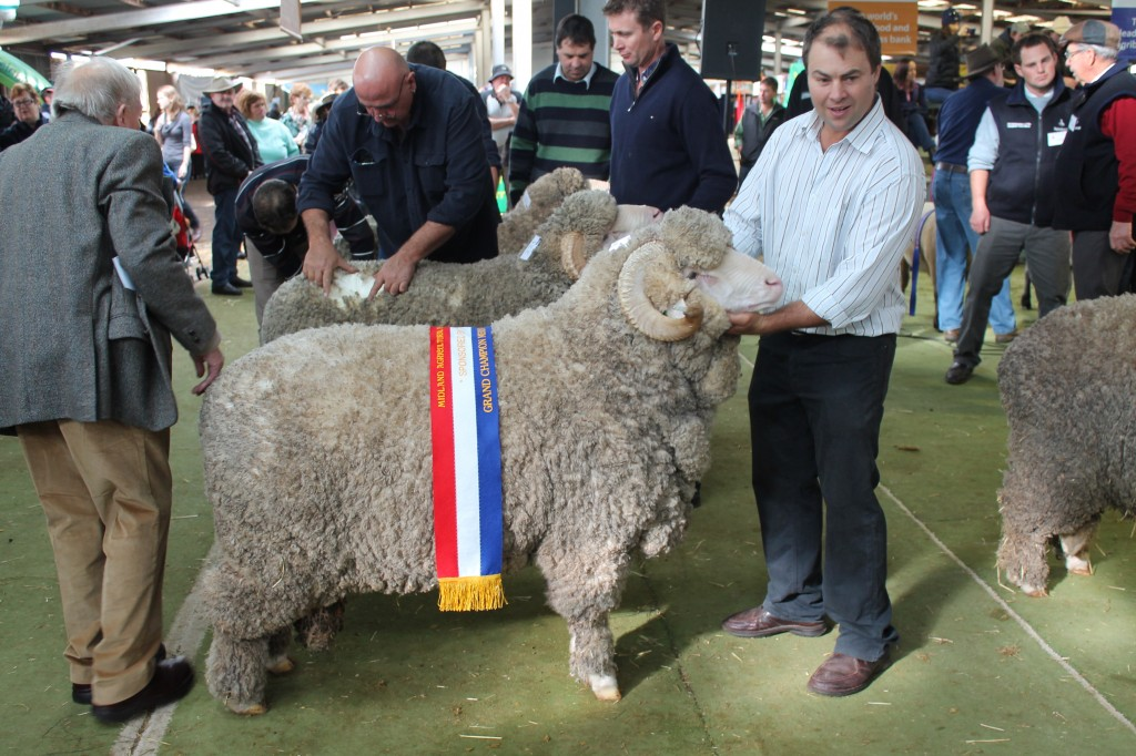 Jock holding N19 on mat winning Grand Champion Ram Campbell Town Show 2013