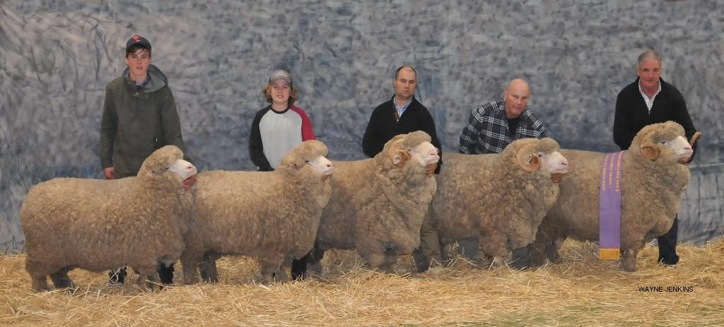 Will and Harry Miller, Jock and Hamish, and Andrew Calvert holding the winning Lionel Weatherly group of 5 merino sheep, Bendigo 2016