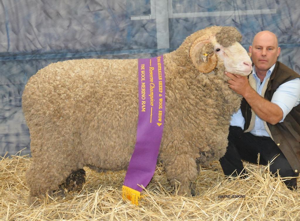 N18 Bendigo Reserve Champion Fine Wool Ram 2015
