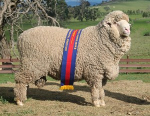 N191 Champion Fine Wool August shorn Poll  Sydney Royal 2014