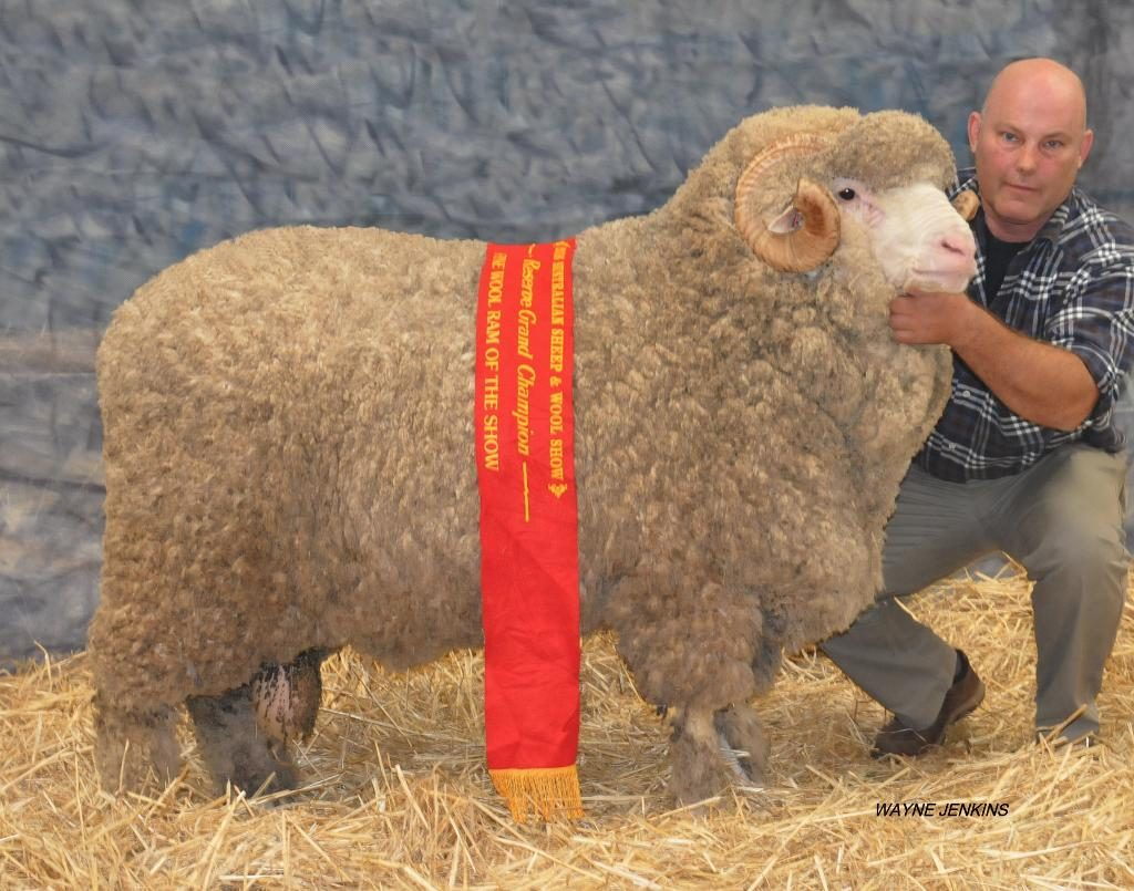 N44 - Reserve Grand Champion Fine Wool Ram Bendigo 2016
