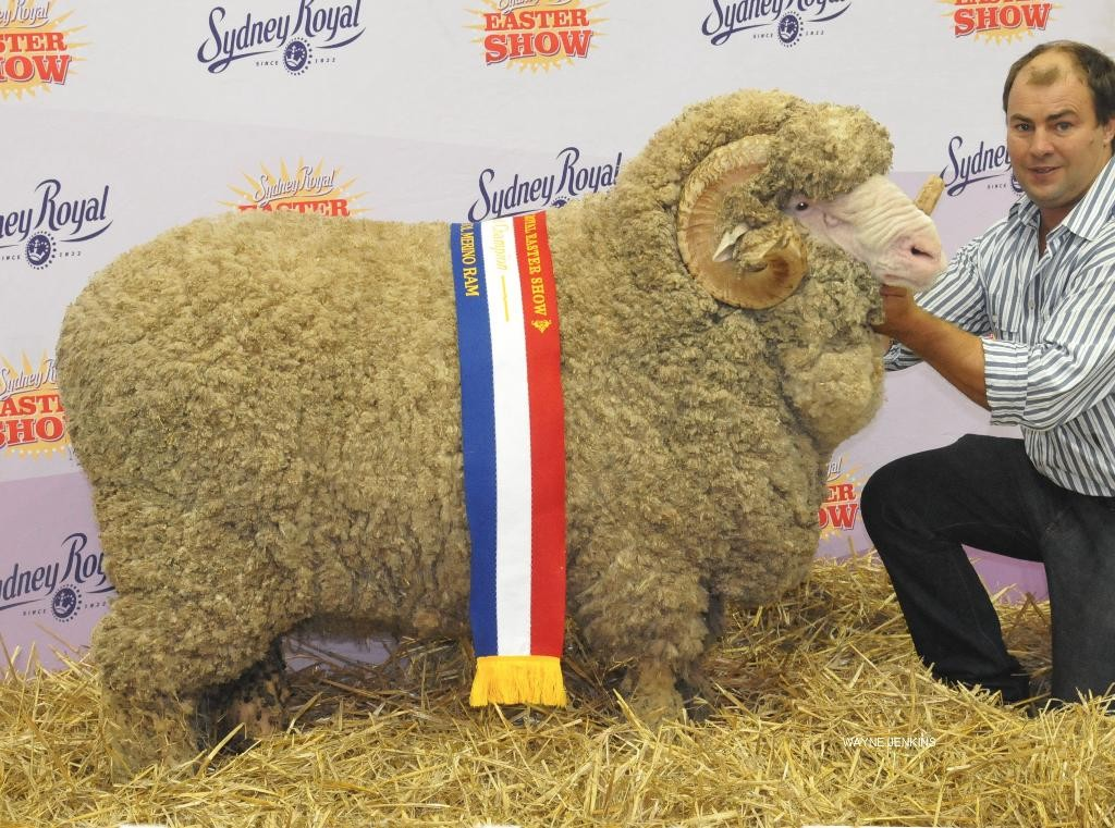 N55 - Grand Champion Fine Wool Ram Sydney Royal 2016