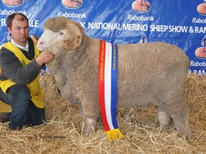 N74, Champion March Fine Wool at Bendigo and the Dubbo National. This Ram was sold at Hamilton Sheepvention for $10000 to Langdene, Grassy Creek, Kerrsville, and Glenpaen Studs
